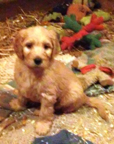 F1b Goldendoodles for sale in Zumbrota, Minnesota - Animals