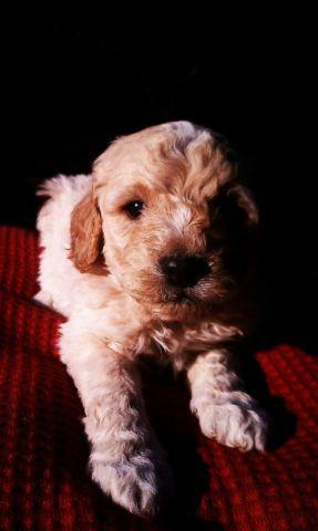 F1b Miniature Goldendoodle Puppy For Sale In Vancouver
