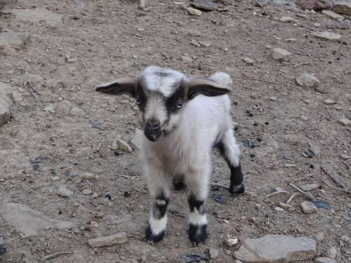 Fainting goats for sale in Western PA for sale in Brookville