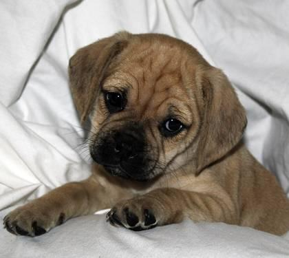 Family Raised Fawn & Black Puggle Puppies - 8 weeks for sale