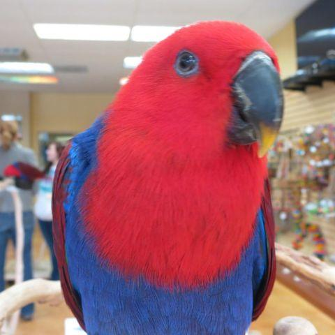 Female Eclectus Just Weaned