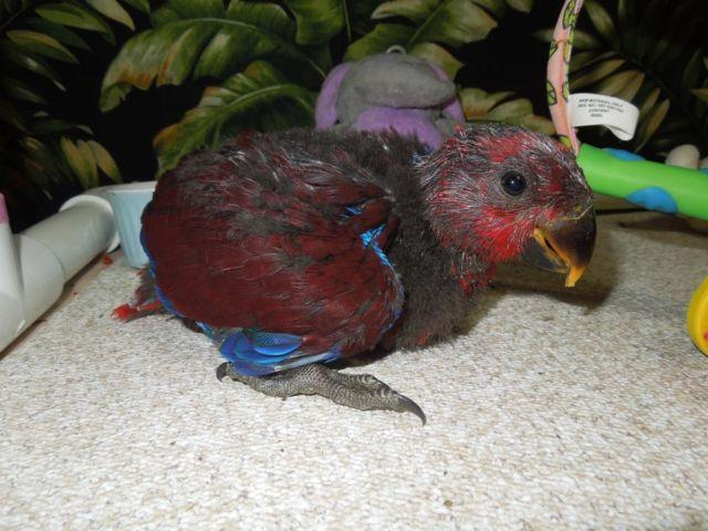 Female Red Sided Eclectus Baby