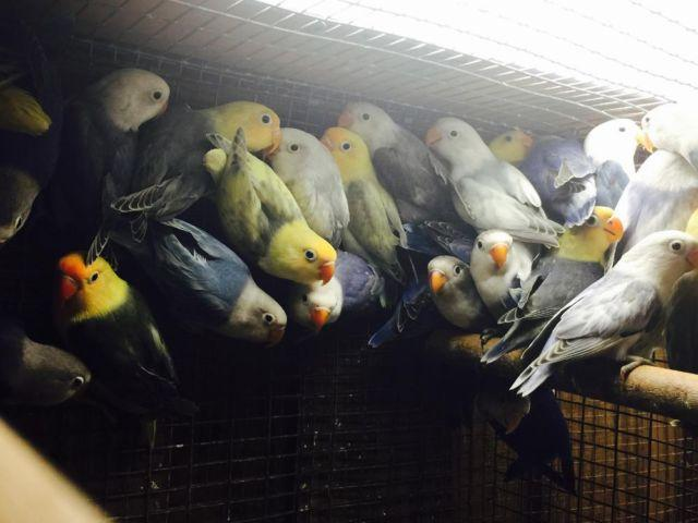 Fischer lovebird, Yellow faces sables and white heads