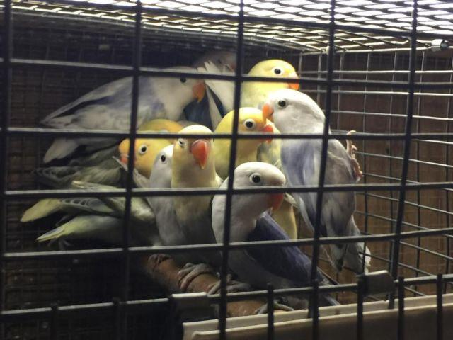 Fischer lovebirds, yellow faces and white sables