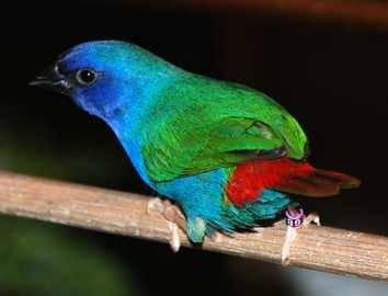 Forbes Parrot finch.Eytrura tri color.