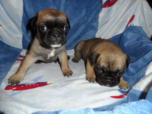 Frug Frenchie Pug Puppies For Sale In Marysville Washington