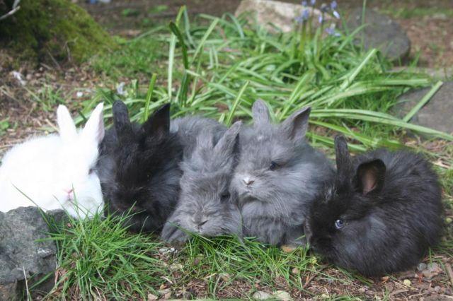 german giant angora rabbits for sale in olympia washington