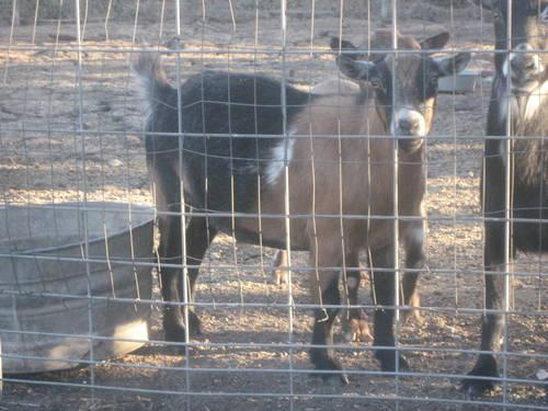 GOATS NEED NEW HOME