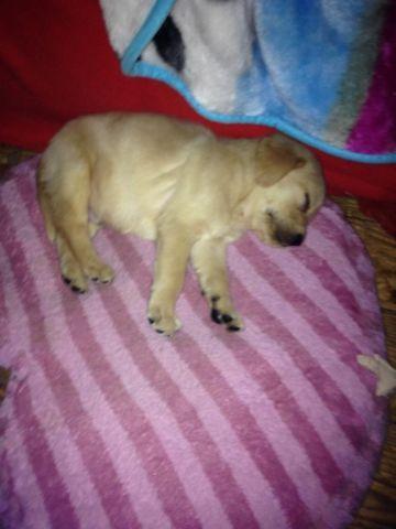 Goldador Puppies for sale in Montpelier, Virginia - Animals nStuff