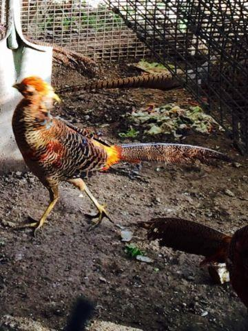 Golden pheasants