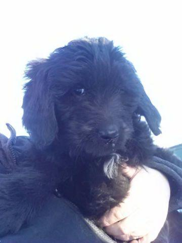 GOLDENDOODLE PUPPIES!!!!PRICE REDUCED!!!!ONLY 3 LEFT!!!! for sale in