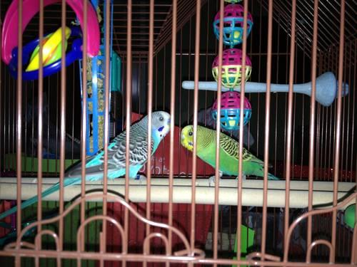 Gorgeous Blue/Black and Green/Yellow Parakeets w/ cage and accessories