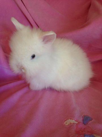Gorgeous purebred blue eyed white Lionhead bunny rabbit