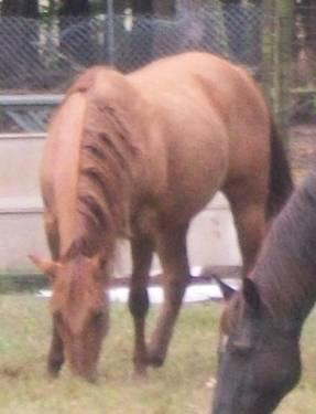 Gorgeous Registered Quarter Horse Mare