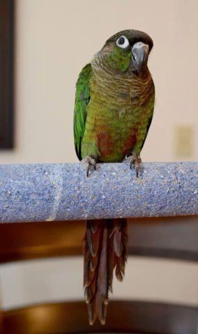Green cheek Conure Baby