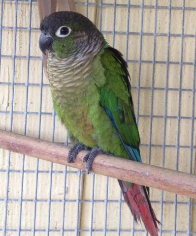green cheek conures, hand fed
