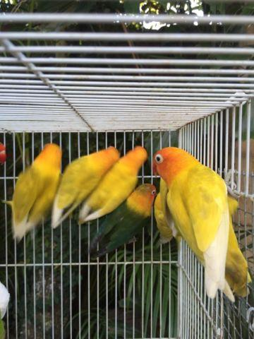 Green pieds- Yellow pieds- DF black masked lovebirds