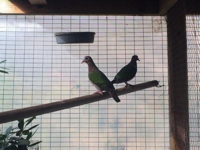 Green Wing Doves