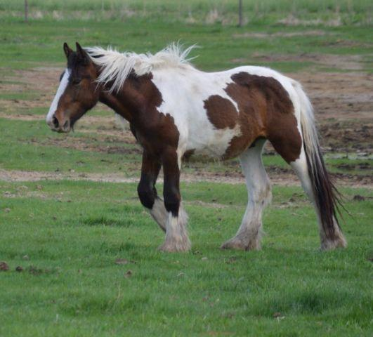 GypsyVanner- Odin 2 year old tri-color colt