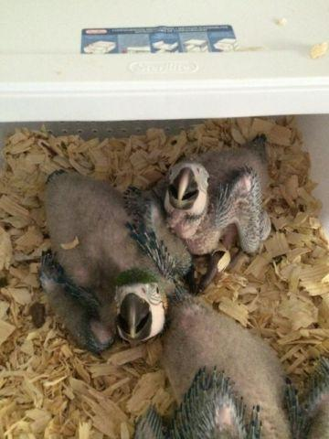 Hahns Macaw babies