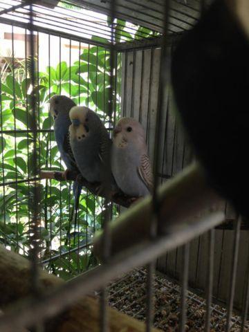 Half English Parakeet Pair