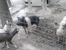 Hamshire Boar