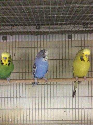 Hand feed parakeets