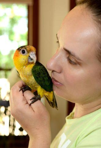 Hand feeding 4 beautiful white bellied caiques