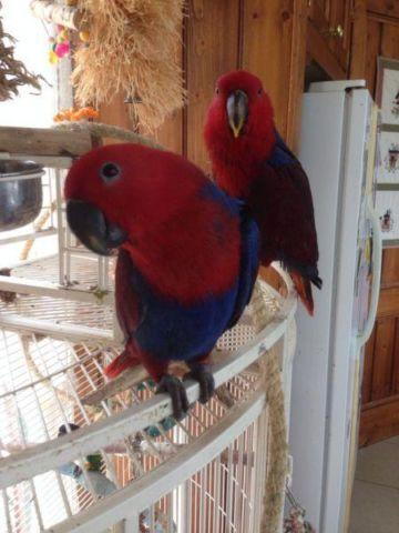 Hand raised Eclectus female and male for sale