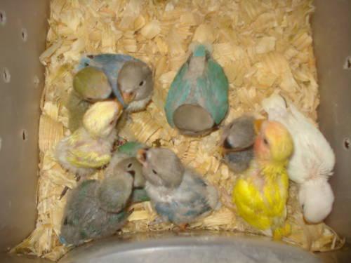 handfed baby lovebirds