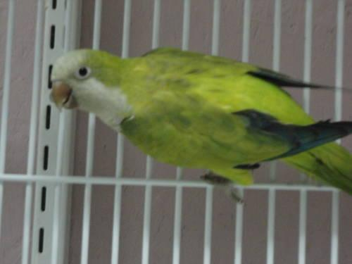 Handfed Green Quaker with Cage and food