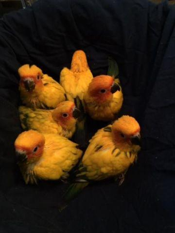 Handfed HIGH YELLOW SUN Conures - Super Tame Babies!!!