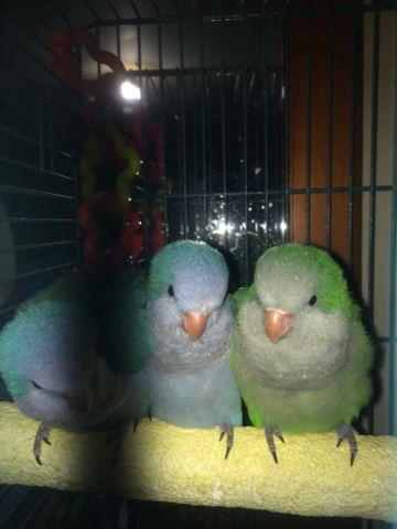 Handraised baby parakeets