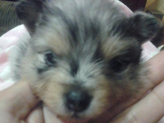 Handsome blue merle Pomeranian puppy for sale! for sale in