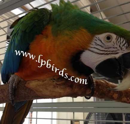 Harlequin Macaw female