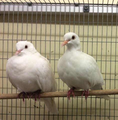 Healthy Doves