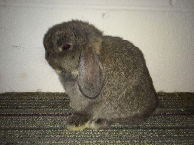 Holland lop and other bunnies for sale in Indiana