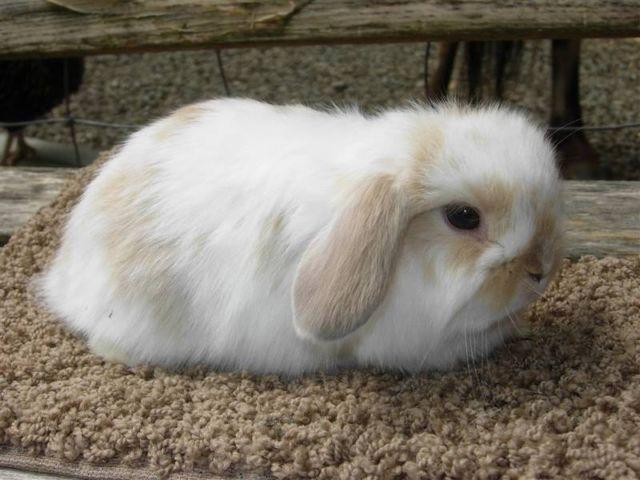 Holland Lop Rabbits and Bunnies for sale in Snohomish