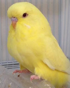 HUGE English Budgie Babies for sale in South Pasadena