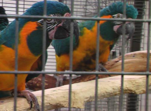 Hyacinth Macaw Pair $22,500 561-594-7007