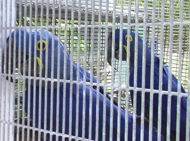 Hyacinth Macaw Pair $25,000