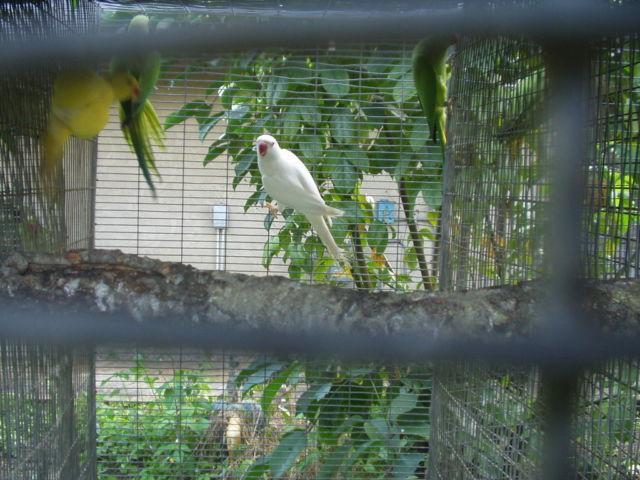 Indian Ringneck Pair Albino X Lutino split/blue