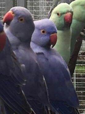 indian ringneck violet 2 females no tame breeders
