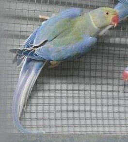 Indian Ringneck Violet Turquoise Split Cleartail. trades too