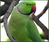 Indian Ringnecks parrots
