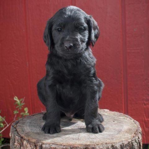 Inland Doodles Labradoodle Puppies For Sale In Spokane