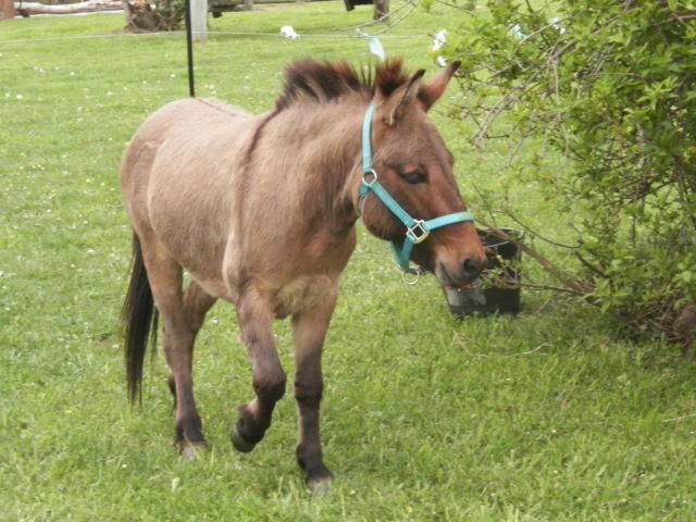 Jack Donkey and Mini horse mare