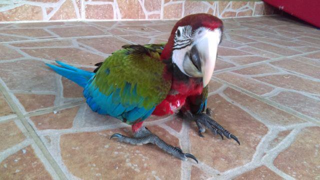 Jubilee Macaw Baby ? 1 Left ?