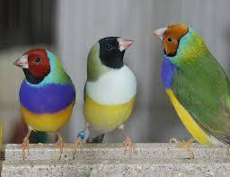 Lady gouldians moving must sell all