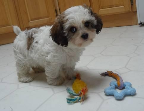 Last one~ Cavachon puppy for sale in Tacoma, Washington